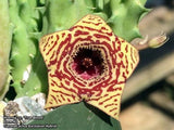 Huernia cv. 'True Blood'