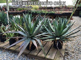 Aloe betsileensis - Plant of the Month