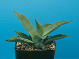 Agave nussaviorum