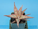 Aloe cv. 'Bright Star'