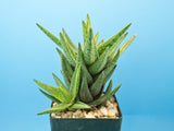 Aloe cv. 'Green Gold' variegated