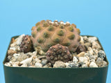 Copiapoa hypogaea