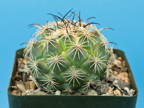 Coryphantha calipensis