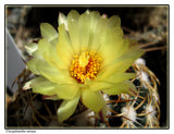 Coryphantha retusa