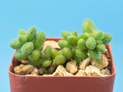 Crassula hirtipes DMC2995