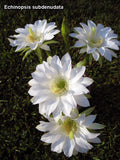 Echinopsis subdenudata cv. 'Fuzzy Navel' - Plant of the Month
