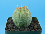 Euphorbia obesa [FEMALE]