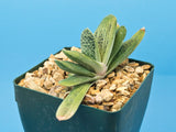 Gasteria cv. Little Warty