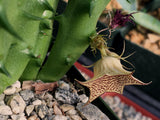 Huernia sudanensis - Plant of the Month