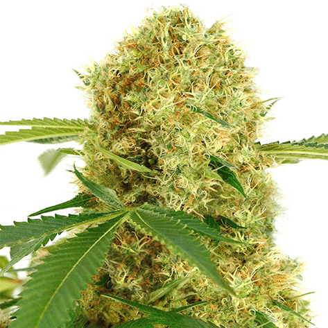 Learn About the Benefits and History of White Widow