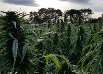 The Benefits of Expanding the UK Hemp Industry