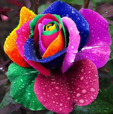 100 Rainbow Rose Flower Seeds