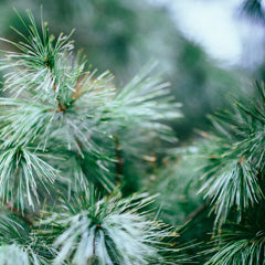 Freshly Cut Pine Tree Christmas - Room Spray-Room spray-Angel Aromatics
