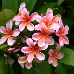 Frangipani Refresher Spray-Refresher-Angel Aromatics