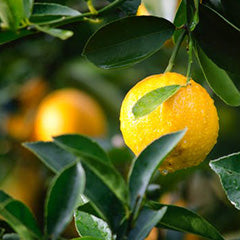Lemon Citrus Linen Spray-Linen Sprays-Angel Aromatics