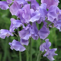 Sweet Pea and Violet Home Spray-Room spray-Angel Aromatics