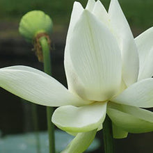 White Lotus Refresher Spray-Refresher-Angel Aromatics