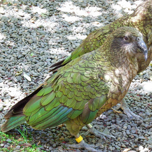 A native New Zealand parrot called the kea, as photographed by Jenni Shah.