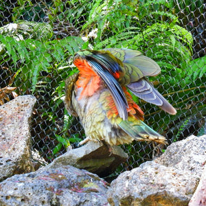 A native New Zealand parrot called the kea flashes his orange and green feathers, as photographed by Jenni Shah.