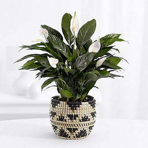 Nature's Grace Peace Lily