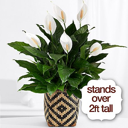 Deluxe Peace Lily
