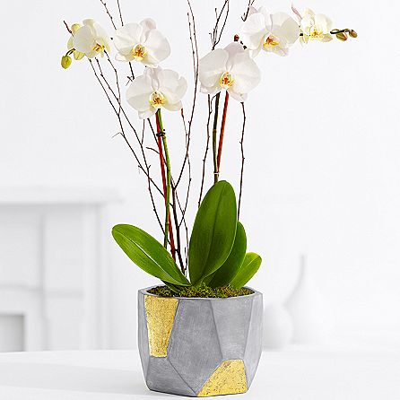 Potted Double Stem White Orchid
