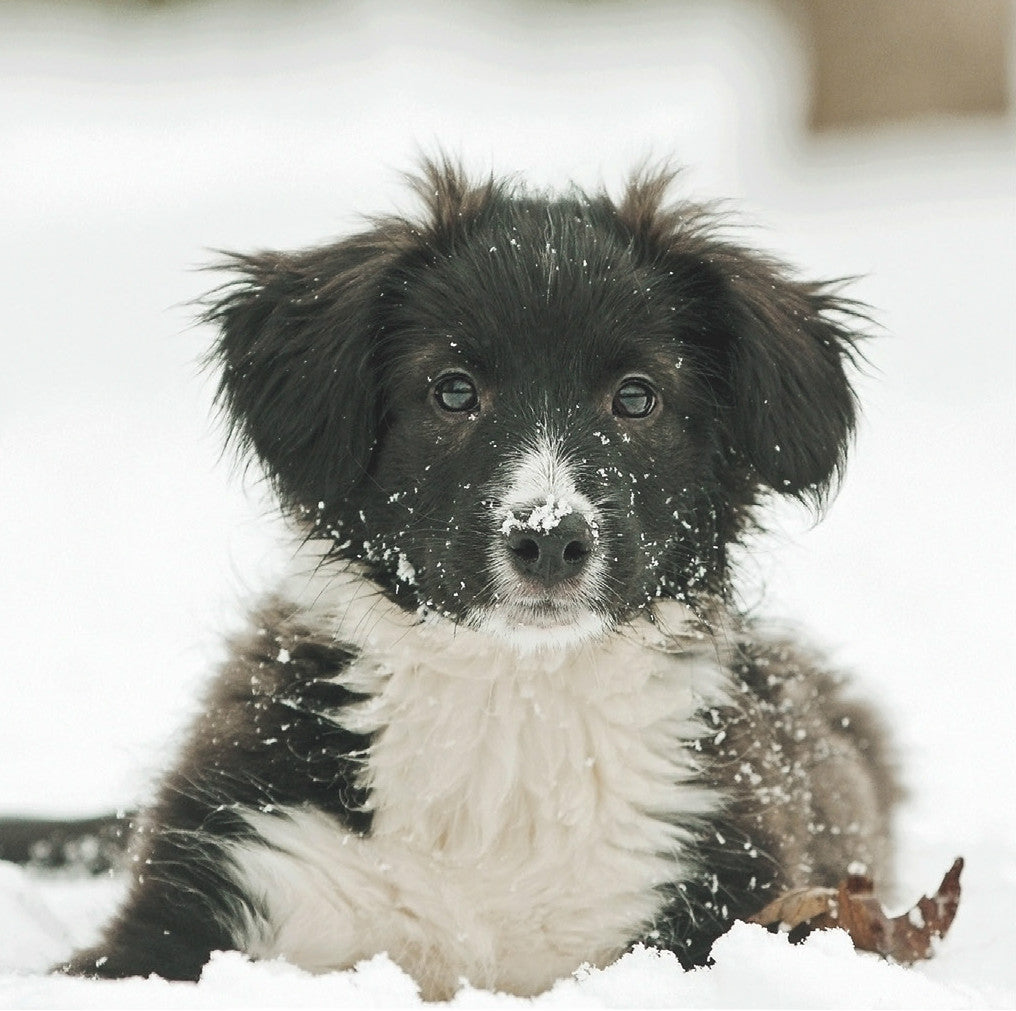 Snowy Collie (pack of 10)
