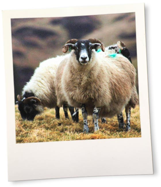 Blackface sheep on the hill.