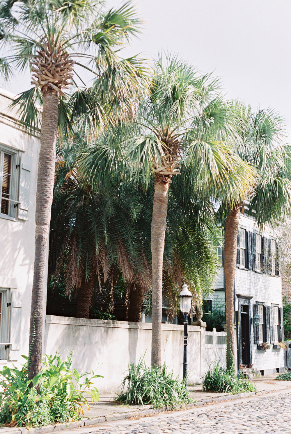 Carolina Palm Trees