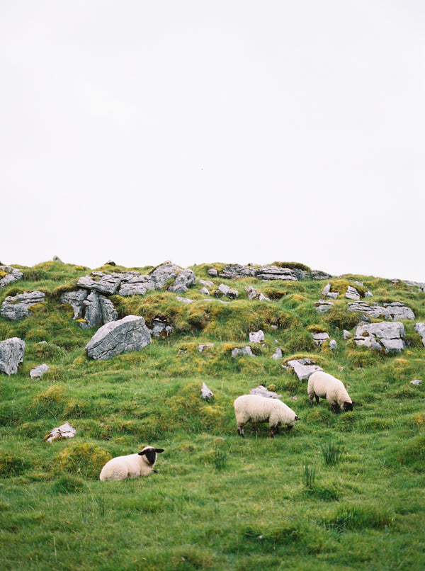 Sheep in the Burren