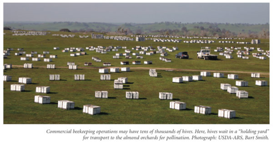 A typical commercial beekeeping layout means colonies jam-packed together - a perfect setting for Varroa Mites to explode
