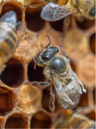 Honeybee with Deformed Wing Virus