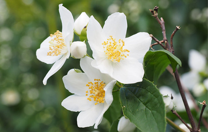 Ingredient Highlight: Jasmine Extract
