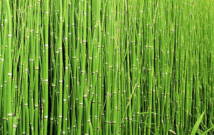 Ingredient Highlight: Horsetail Extract