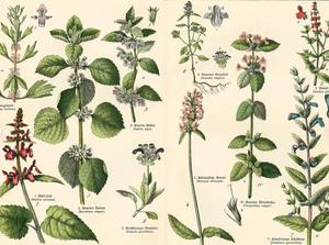Materia Medica Week Two: the Mint Family