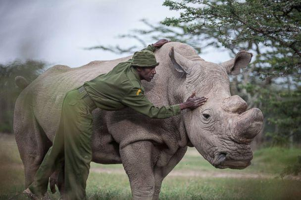 Could this be the end of the White Rhino's...Maybe Not.