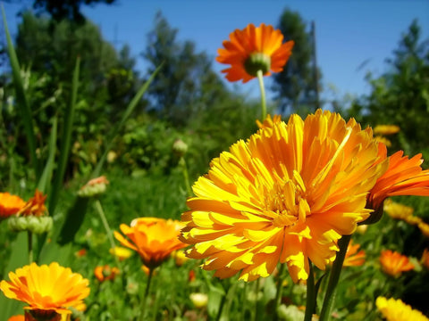 calendula infused oil in natural skincare products