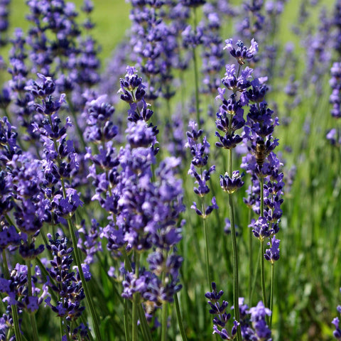 Lavender essential oil Melbourne
