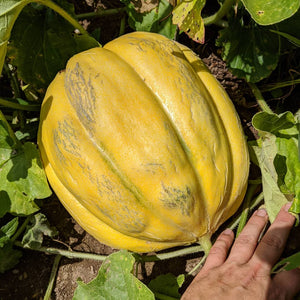 Weeks North Carolina Giant Melon
