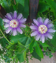 Northern Maypop Passionfruit
