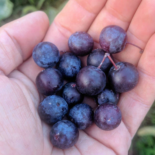 Cape May Beach Plum