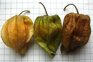 Perennial Ground Cherry