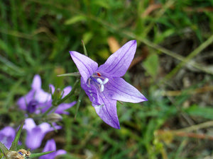Rampion Bellflower