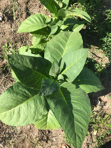 Puerto Rican Mountain Tobacco