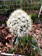 Andy's Green Mountain Multiplier Onion