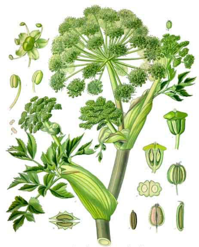Angelica (Minnesota Naturalized)
