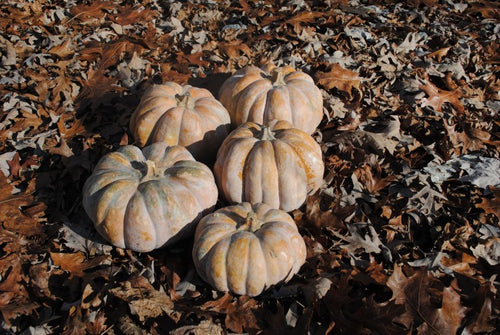 Chinese Tropical Pumpkin