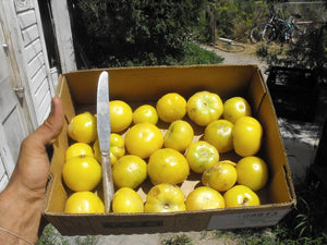Dr. Wyche's Yellow Tomatillo