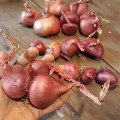 Ed's Red Shallot