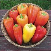 Greg's Hungarian Sweet Pepper
